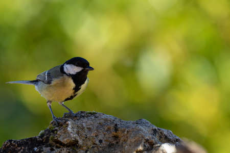 Great tit on a rock in the forest in Alava