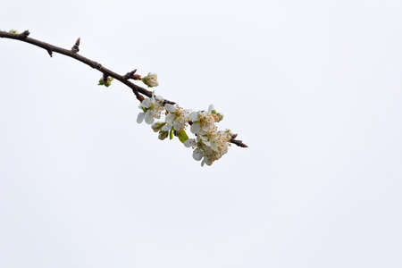 Branch with flowers in an apple tree