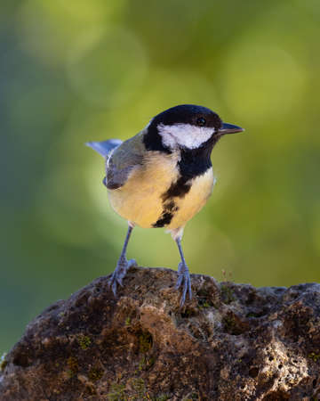 Great tit on a rock in the forest 版權商用圖片