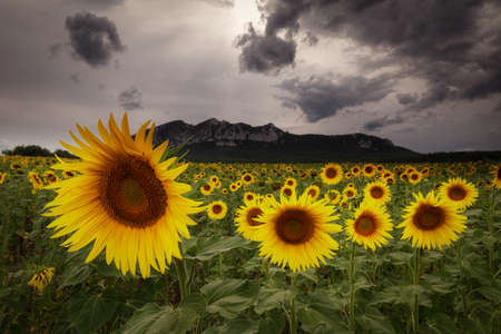 Sunflowers in a cloudy and stormy day in Alava