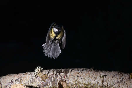 Great tit flying over a branch in Espejo, Alva 版權商用圖片 - 153717385