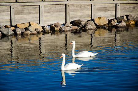 swans: Two swans Stock Photo