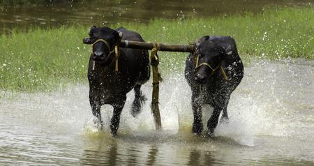 bullock animal: Bullock cart racing