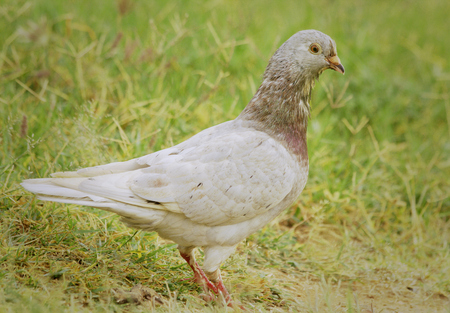 constitute: Pigeons and doves constitute the bird family Columbidae that includes about 310 species