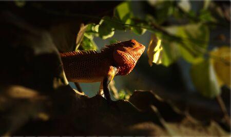 red head: Red Head Lizard