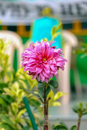 Dahila plants in bloom with color background in India