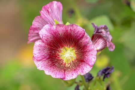 Close up of Hollyhock Flower.With Beautiful Background.The hollyhock growing in a garden. Red pink