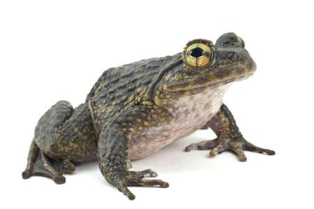 petite grenouille sur un fond blanc tourn� vers