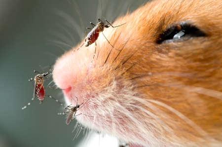 infective: El mosquito Anopheles - veh�culo peligroso de la infecci�n Foto de archivo