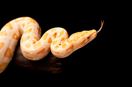 Burmese Python  Python molurus bivittatus  on black background  photo