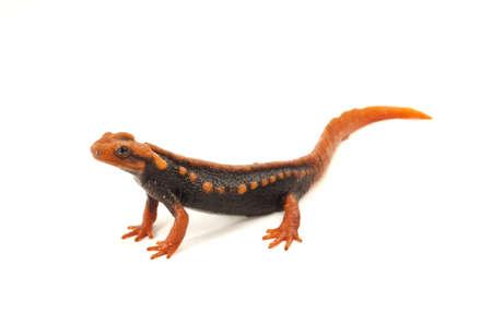 Salamander  Tylototriton verrucosus  in Thailand and Southeast asia