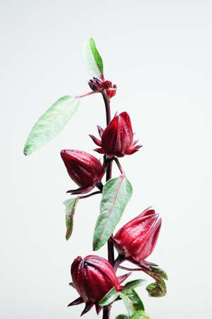 Roselle Fruit Stock Photo