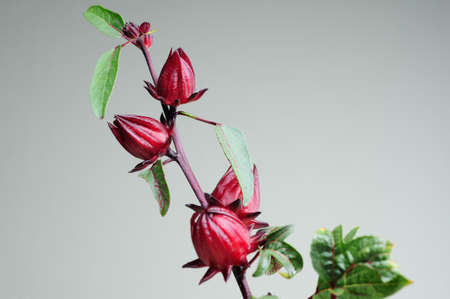 Jamaica Sorrel, Red Sorrel, Roselle and Rozelle  Hibiscus sabdariffa L    photo