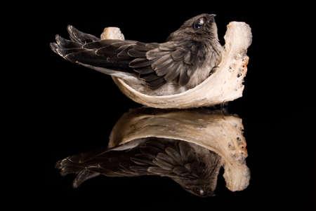 swift-let on the nest put on black ground  Stock Photo