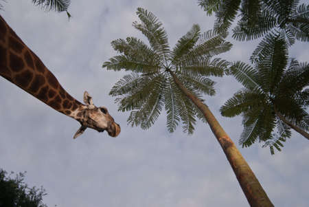 giraffe  Giraffa camelopardalis  over blue sky with white clouds photo