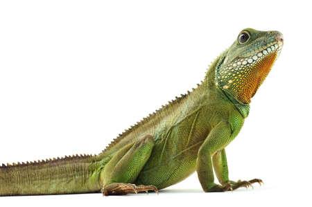 lagarto: Green Dragon