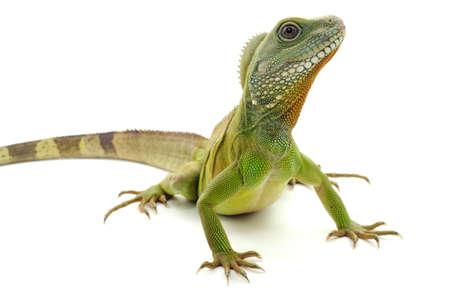 gecko: Green dragon Stock Photo