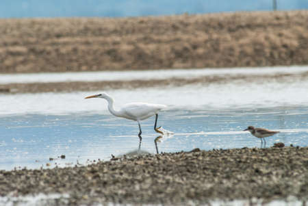 wetland conservation: A feeding Chinese egret