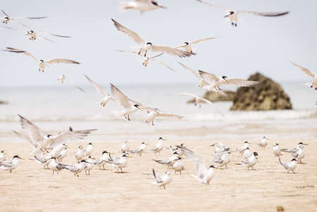 hundreds of terns flying, Thailand