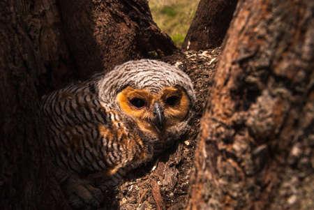 Spotted Owl bois Banque d'images
