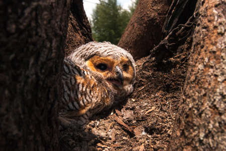 Spotted Wood Owl photo