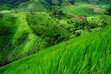 Landscape of the rice and corn plantations in Thailand photo