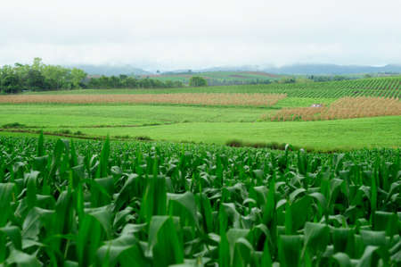 Plantation of Fodder Corn in Thailand