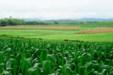 Plantation of Fodder Corn in Thailand