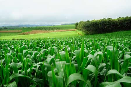 fodder corn: Plantation of Fodder Corn in Thailand