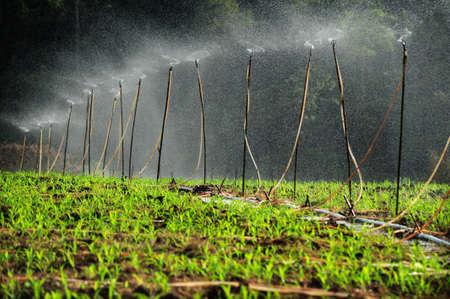 Les syst�mes d'irrigation sur la plantation de ma�s