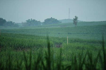 cane sugar farm, China photo