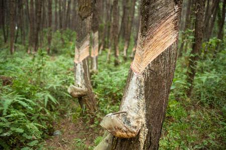 Resin and bark of pine tree. Stock Photo