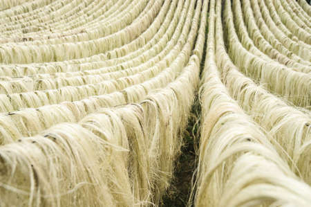 Sisal fiber, raw material from China Stock Photo - 21727156