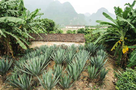 fort dauphin: Sisal plantation in south China