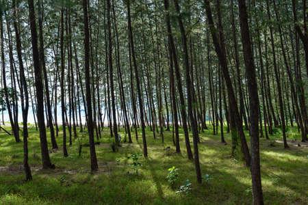 ironwood: Pine(Common Ironwood) tree forest Stock Photo