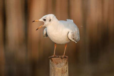 Seagull est une migration des oiseaux en Tha�lande