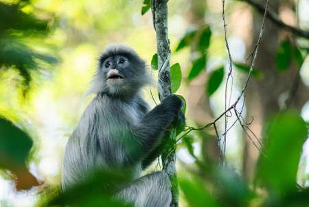 gray langur: leaf monkey in Thailand