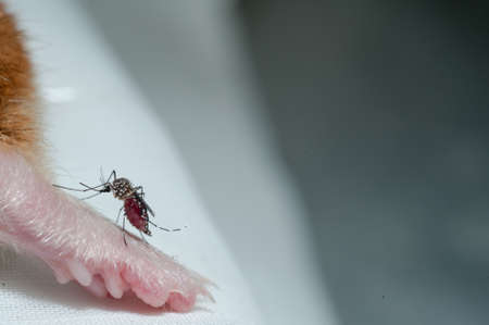 taint: Female Anopheles mosquito sucking blood from mouse, science