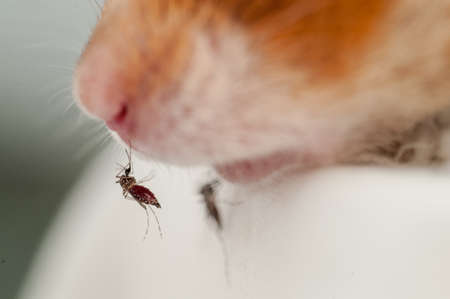 lifeblood: Female Anopheles mosquito sucking blood from mouse, science