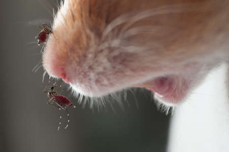 infective: Female Anopheles mosquito sucking blood from mouse, science