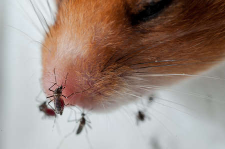 infective: Mujer chuparse el mosquito Anopheles sangre de rat�n, ciencia