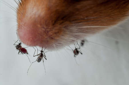 Female Anopheles mosquito sucking blood from mouse, science photo