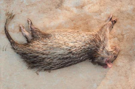 carcass: Stekelvarken karkas van een man doden, Laos