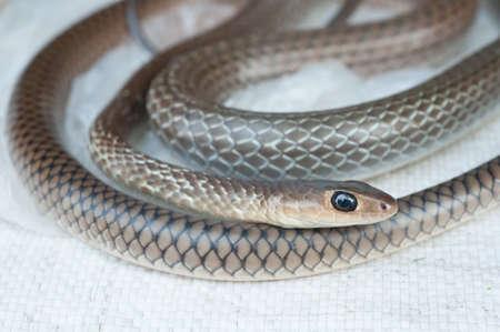 Serpent diss�qu� pour vendre la nourriture sur le march� rural ouvert, sauvage tha�landaise et la nourriture incroyable