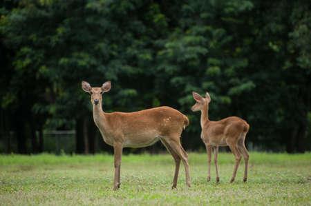 siamensis: Elds Deers free in zoo, Thailand Stock Photo