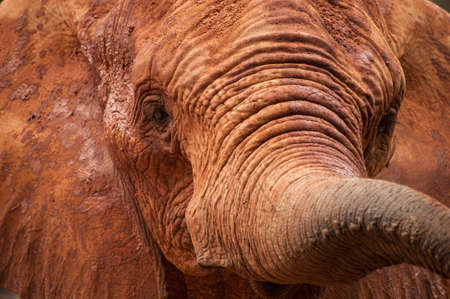 big5: Large African elephant (Loxodonta africana) covered in red dust