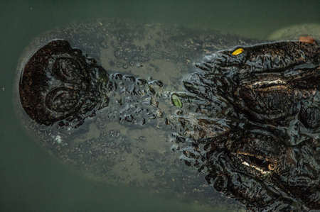 siamensis: Top view of caiman in water.