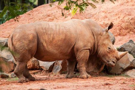Un �norme rhinoc�ros debout dans cette image.