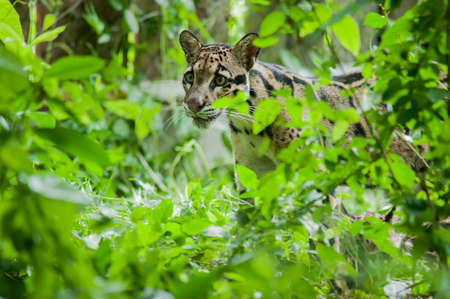 clouded leopard: Portrait of Beautiful Clouded Leopard (Neofelis Nebulosa)