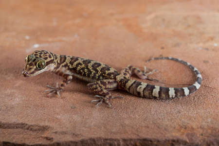 Gecko Courbe doigts